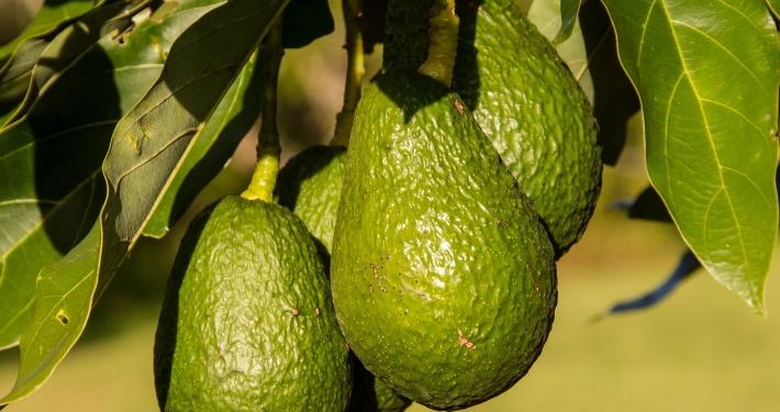 inOrto Bonduelle | domande e risposte - macchie foglie avocado