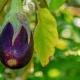 inOrto Bonduelle | domande e risposte - pianta melanzane con frutti gialli