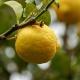 inOrto Bonduelle | domande e risposte - periodo per rinvasare il limone