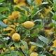 inOrto Bonduelle | domande e risposte - eliminare formiche dal limone