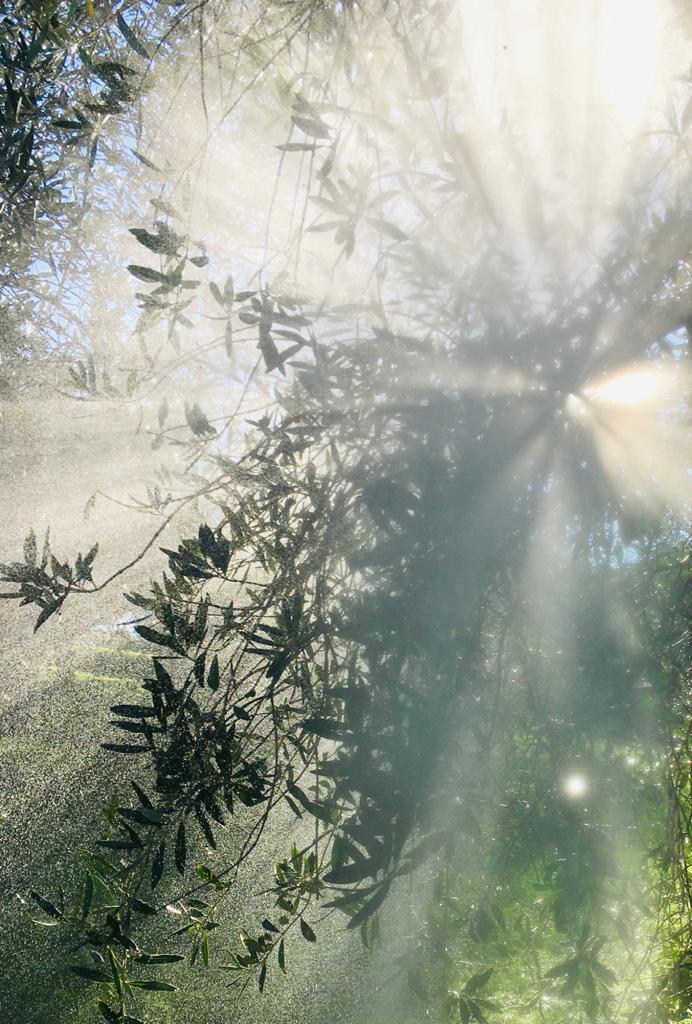 olivo e trattamenti rameici