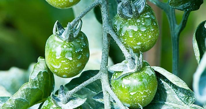 rame su pomodori