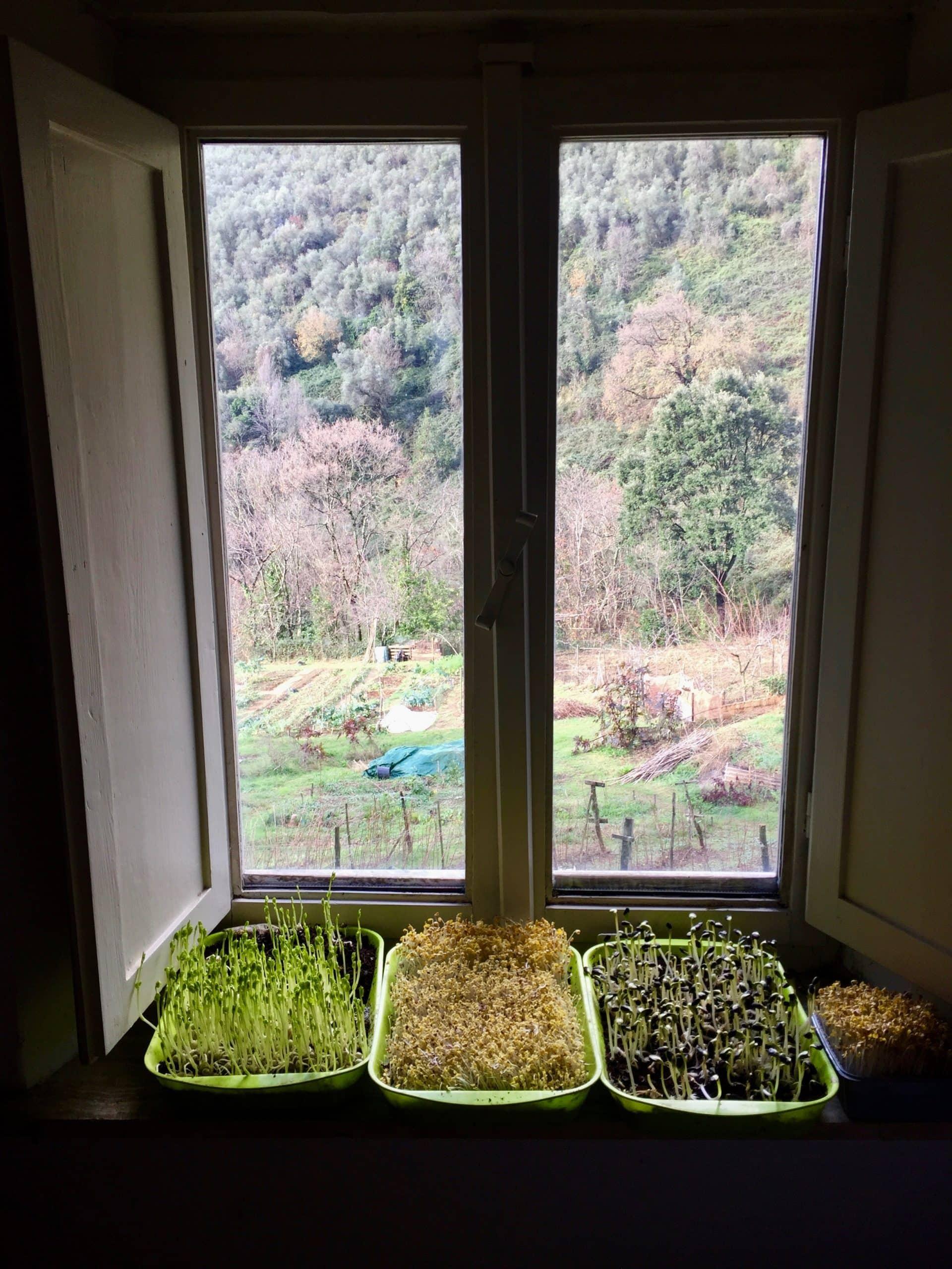 Come coltivare i germogli in casa